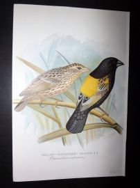 Frohawk & Butler 1899 Antique Bird Print. Yellow Shouldered Weaver